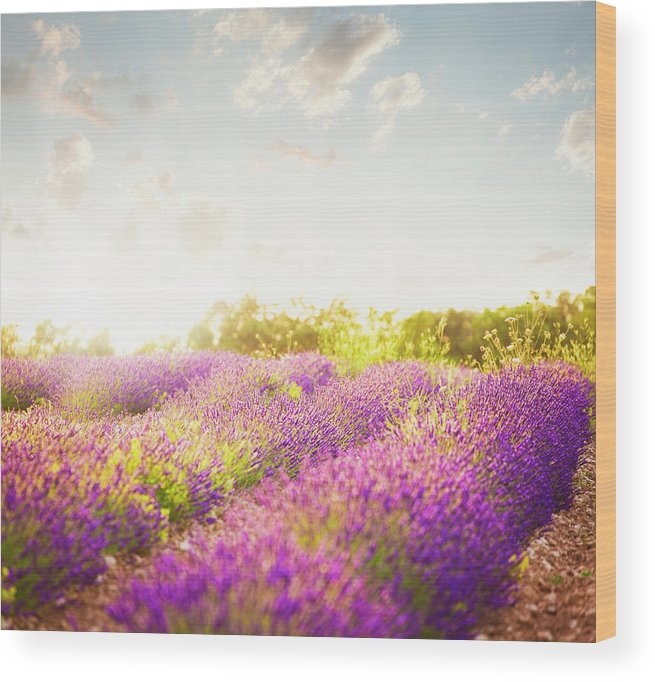Lavender Field In Sunny Day Wood Print By Brzozowska
