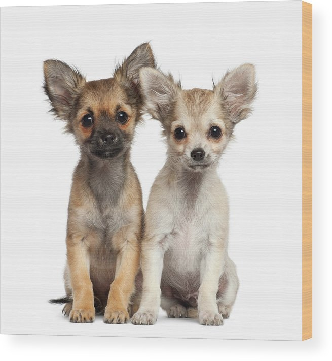 Pets Wood Print featuring the photograph Two Chihuahua Puppies Sitting 3 Months by Life On White