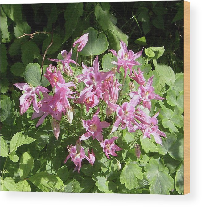 Pink Columbine Flowers Wood Print By Kathryn Pinkham