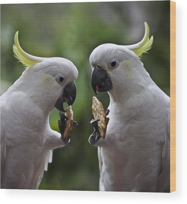 Sulphur Crested Cockatoo Wood Print featuring the photograph Sulphur crested cockatoo pair by Sheila Smart Fine Art Photography