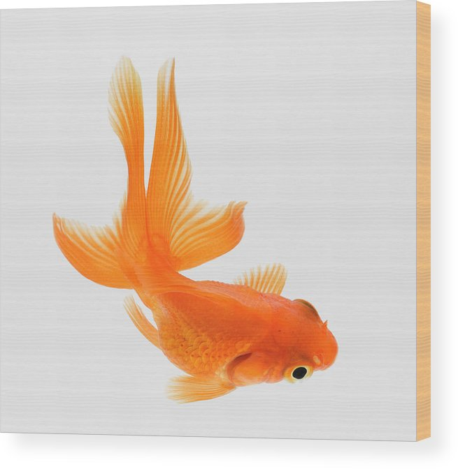 Pets Wood Print featuring the photograph Fantail Goldfish Carassius Auratus by Don Farrall