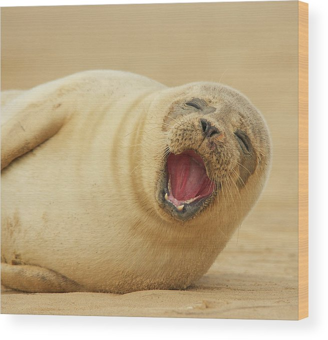 Animal Themes Wood Print featuring the photograph Common Seal by Copyright Alex Berryman