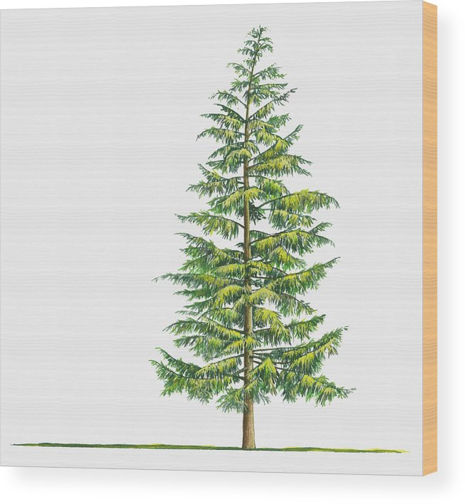 Watercolor Painting Wood Print featuring the digital art Illustration Of Large Evergreen Tsuga by Sue Oldfield
