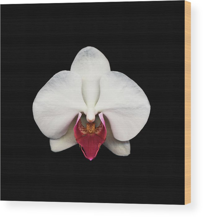 Black Background Wood Print featuring the photograph Moth Orchid Against Black Background by Mike Hill