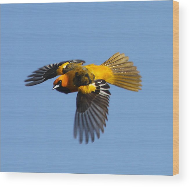 Birds Wood Print featuring the photograph Spot Breasted Oriole In Flight by Dart and Suze Humeston