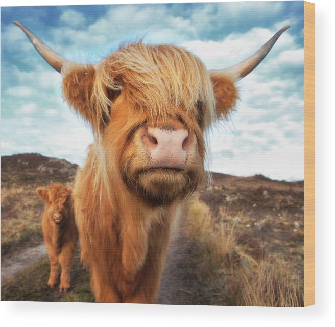 Horned Wood Print featuring the photograph Uk, Scotland, Highland Cattle With Calf by Westend61