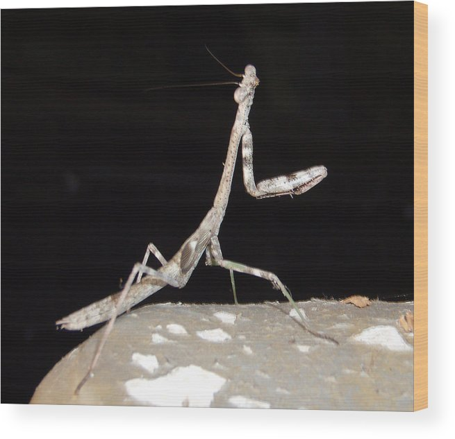 Praying Mantis Wood Print featuring the photograph Is This My Good Side by Nicole I Hamilton