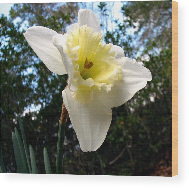 Daffodil Wood Print featuring the photograph Spring's First Daffodil 3 by J M Farris Photography