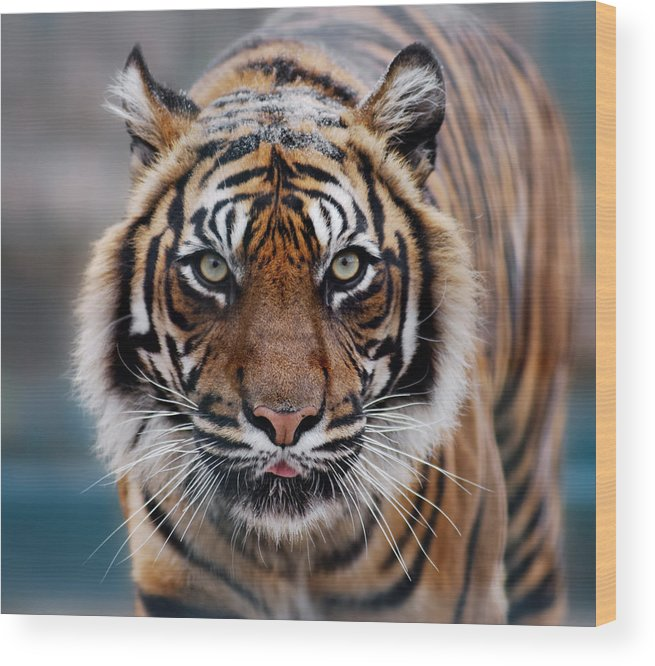 Snow Wood Print featuring the photograph Tiger by Freder