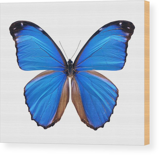 Amazon Rainforest Wood Print featuring the photograph Blue Morpho Butterfly - Large by Phototalk