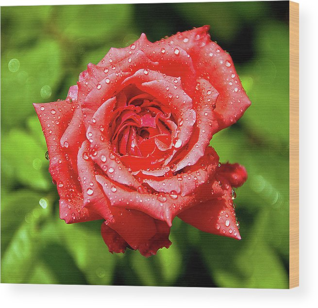 New Delhi Wood Print featuring the photograph Rose With Raindrops by Charlie Joe