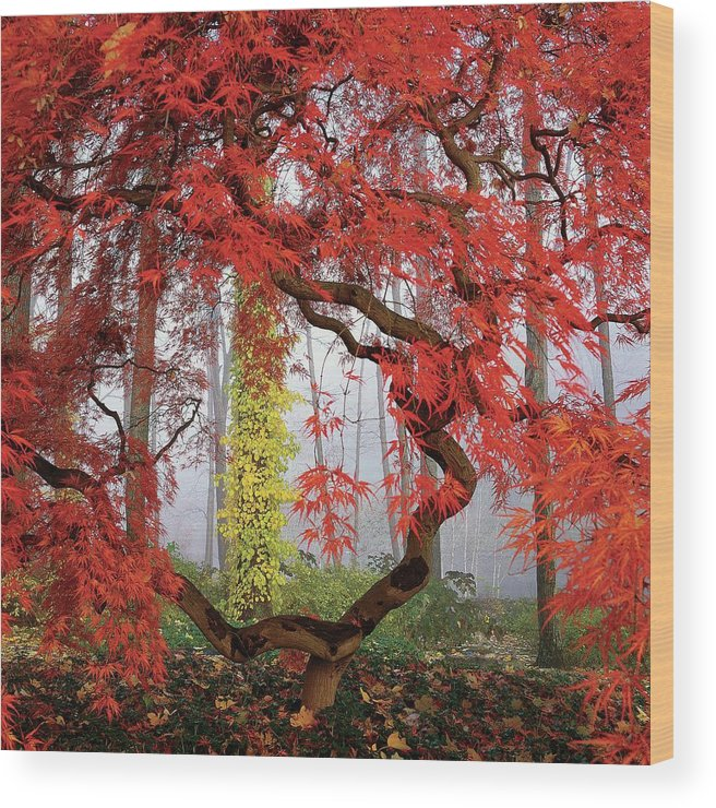 Landscape Wood Print featuring the photograph A Japanese Maple Tree by Richard Felber