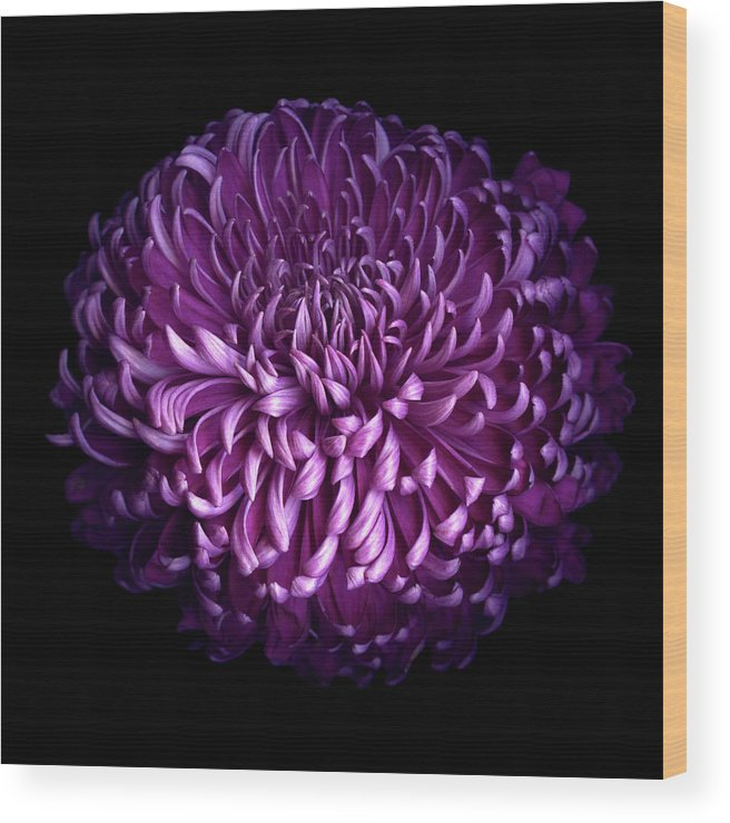 Chrysanthemum Wood Print featuring the photograph Glorious Autumn Purple Chrysanthemum by Photograph By Magda Indigo