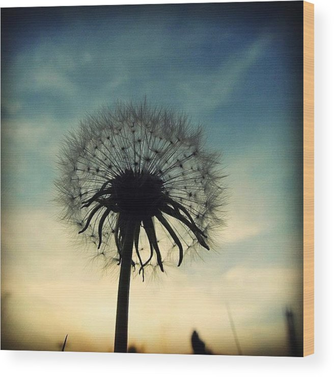 Life Wood Print featuring the photograph #mgmarts #dandelion #weed #sunset #sun by Marianna Mills