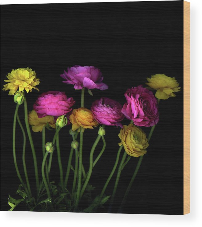 Black Background Wood Print featuring the photograph Persian Buttercups Ranunculus Asiaticus by Photograph By Magda Indigo