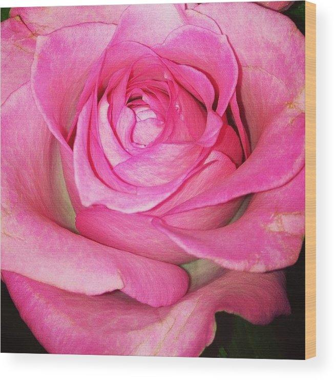 Pink Wood Print featuring the photograph #pink #rose #pinkrose #nature by Amber Campanaro