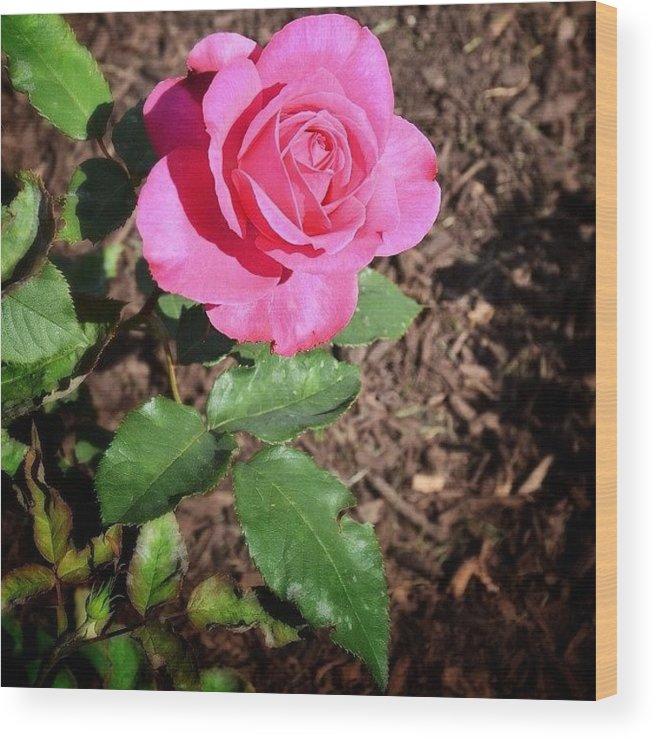 Mobilephotography Wood Print featuring the photograph Rose by Natasha Marco