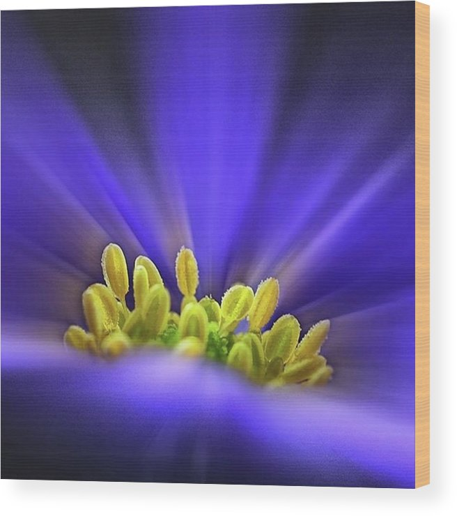 Beautiful Wood Print featuring the photograph blue Shades - An Anemone Blanda by John Edwards