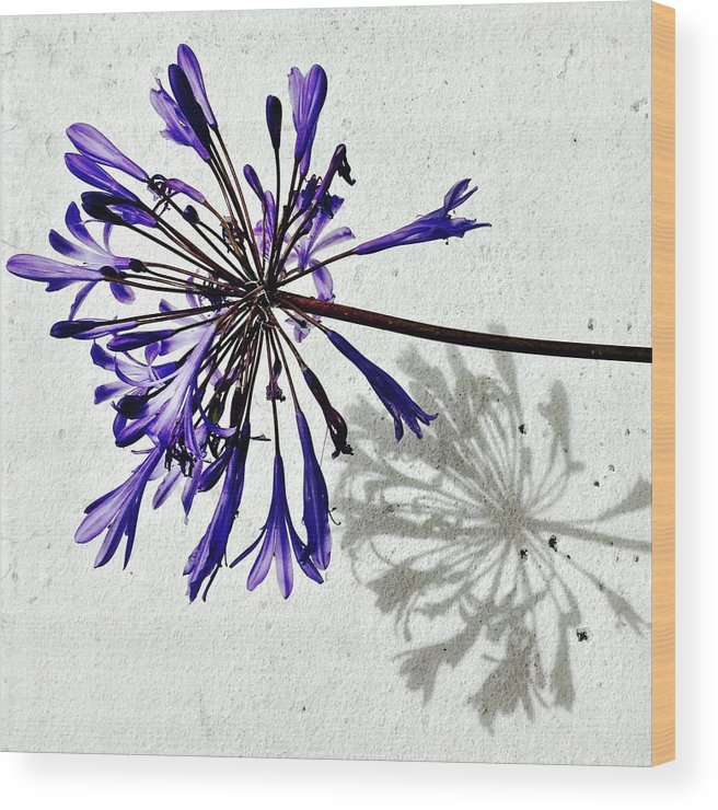 Flower Wood Print featuring the photograph Agapanthus by Julie Gebhardt