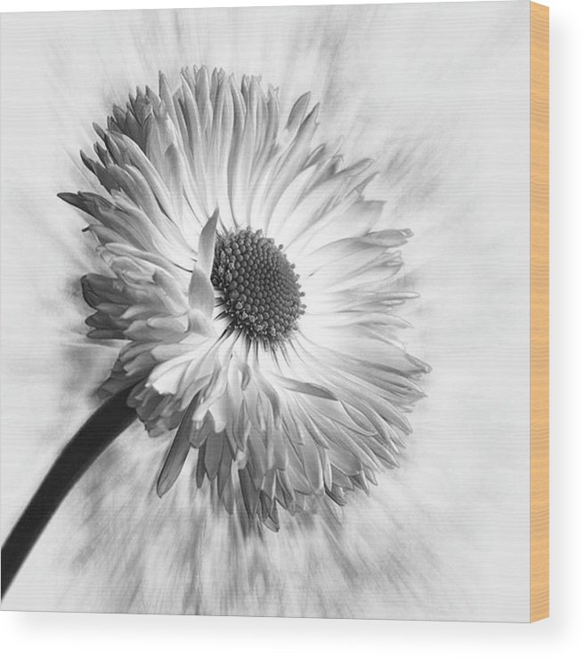 Beautiful Wood Print featuring the photograph Bellis In Mono  #flower #flowers by John Edwards