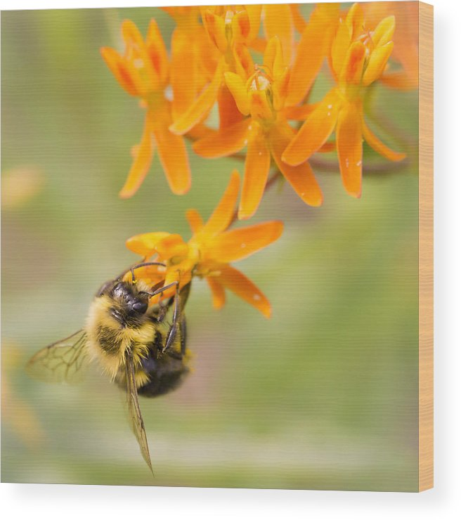 Asclepias Wood Print featuring the photograph Bumble Bee on Butterfly Weed by Jim Hughes