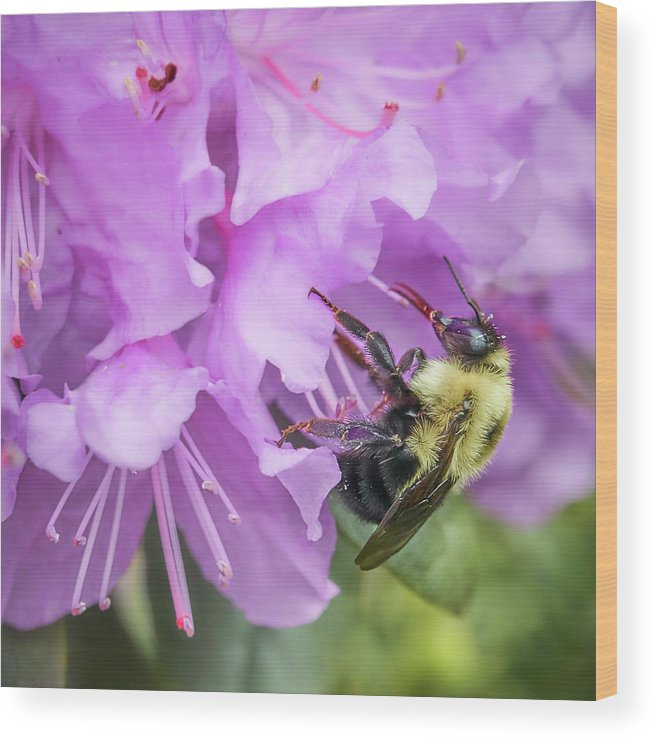 Rhododenron Wood Print featuring the photograph Bumble Bee on Rhododendron by Jim Hughes