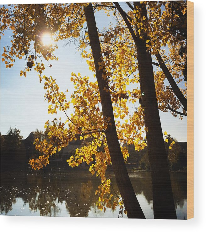 Tree Wood Print featuring the photograph Golden trees in autumn Sindelfingen Germany by Matthias Hauser
