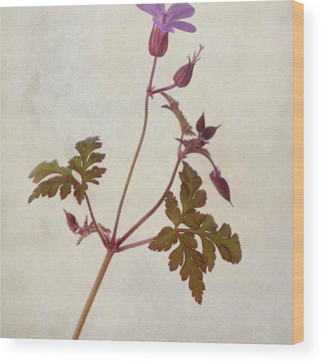 Beautiful Wood Print featuring the photograph Herb Robert - Wild Geranium  #flower by John Edwards