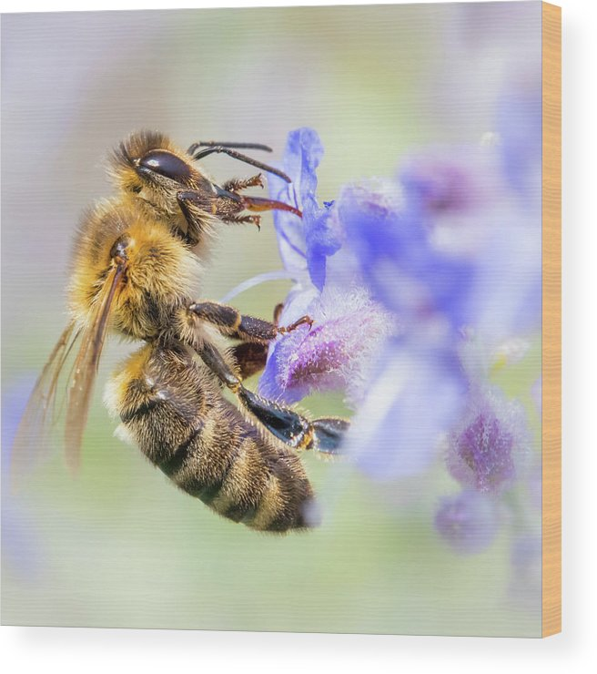 Apidae Wood Print featuring the photograph Honey bee on Russian Sage by Jim Hughes