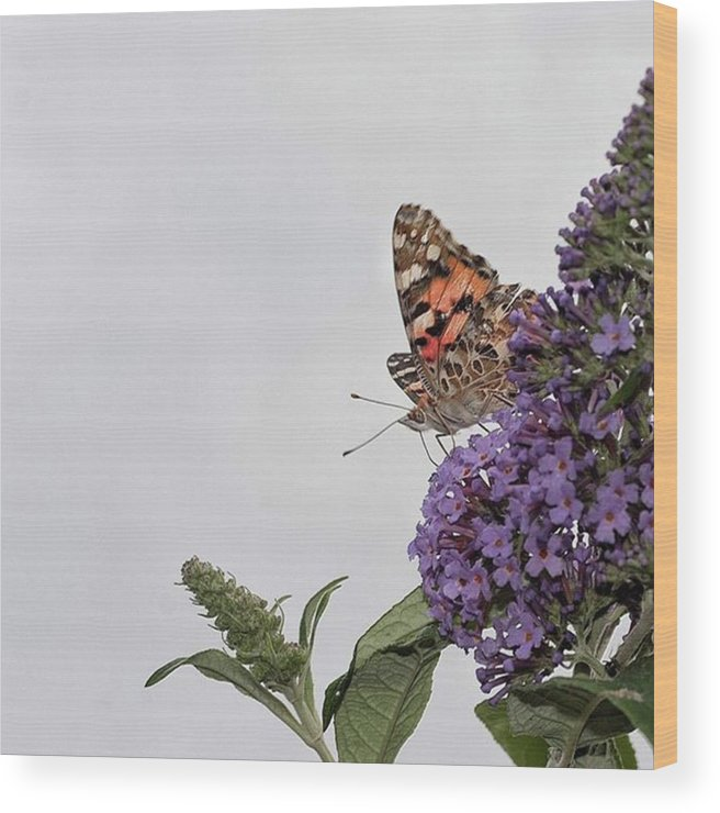 Insectsofinstagram Wood Print featuring the photograph Painted Lady (vanessa Cardui) by John Edwards
