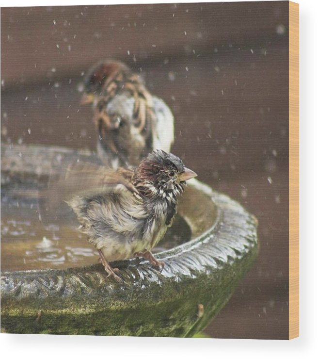 Nature Wood Print featuring the photograph Pass The Towel Please: A House Sparrow by John Edwards