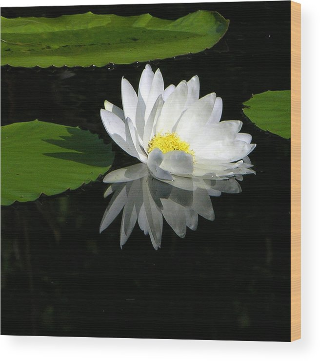 Water Lily Wood Print featuring the photograph Simply White on Black by John Lautermilch