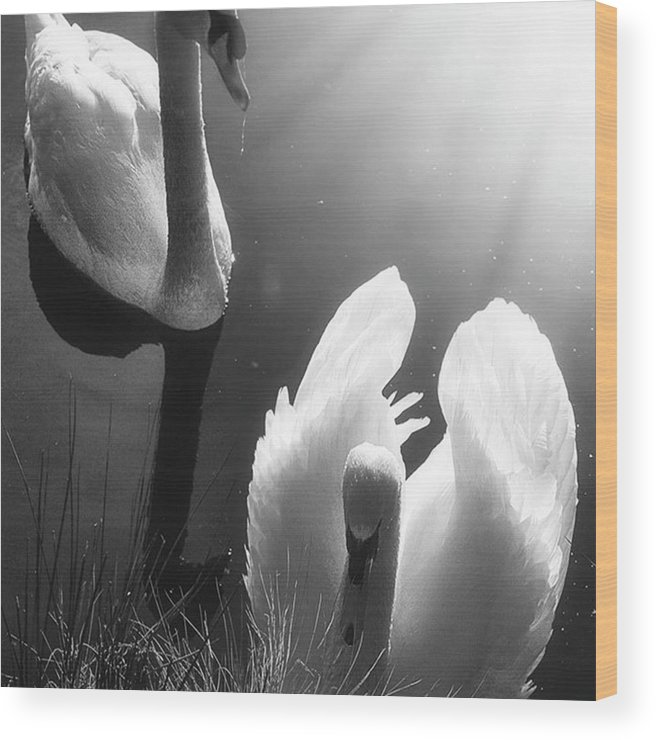 Swan Wood Print featuring the photograph Swan Lake In Winter - Kingsbury Nature by John Edwards