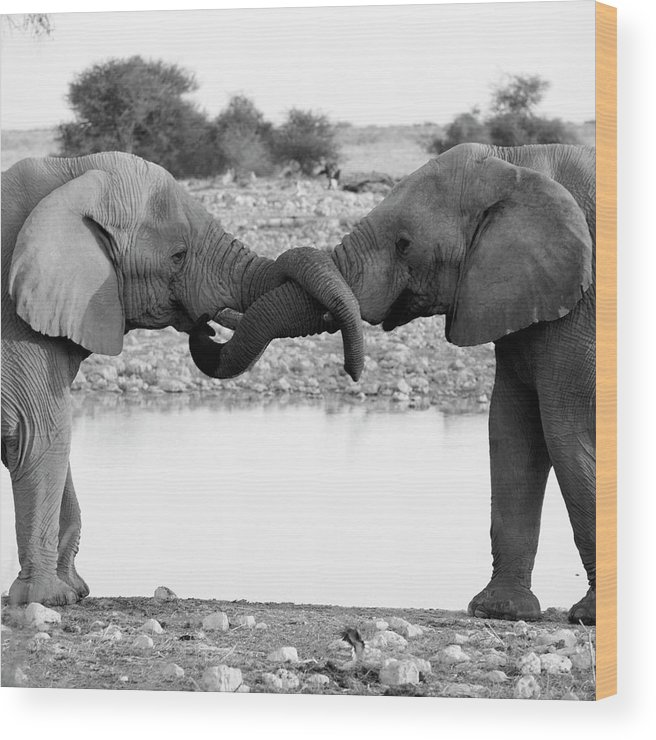 Animal Trunk Wood Print featuring the photograph Elephants Curling Trunk by Harrykolenbrander