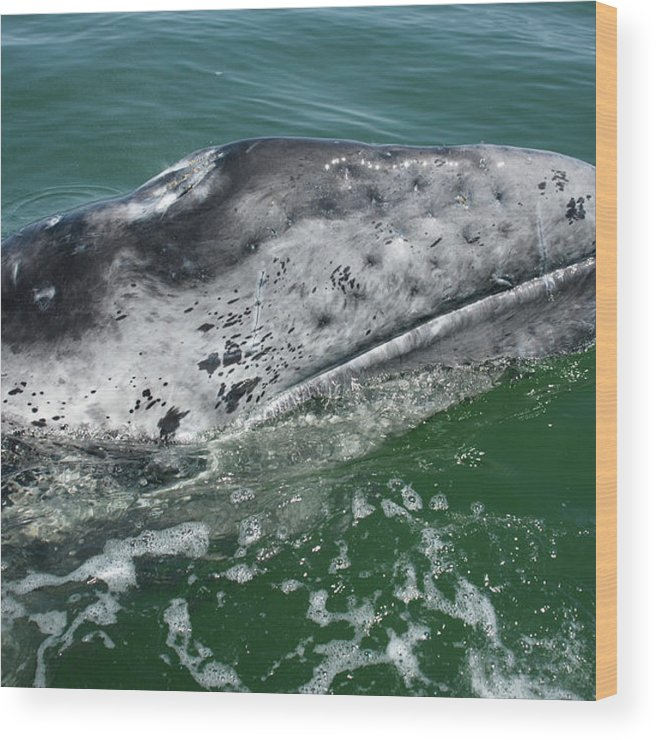Latin America Wood Print featuring the photograph Grey Whale Head by Serengeti130