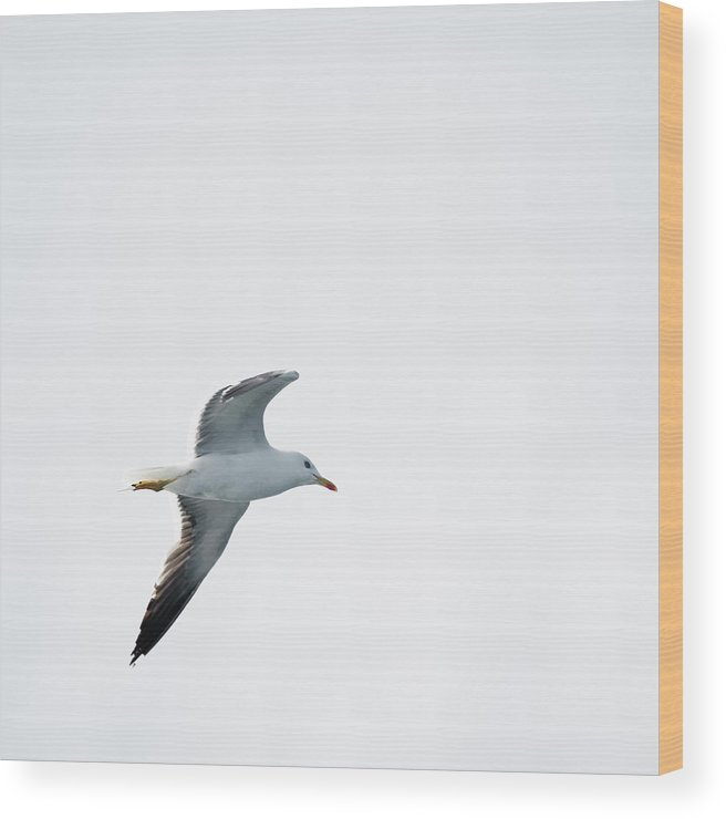 Sweden Wood Print featuring the photograph Herring Gull In Flight by Magnusson, Roine