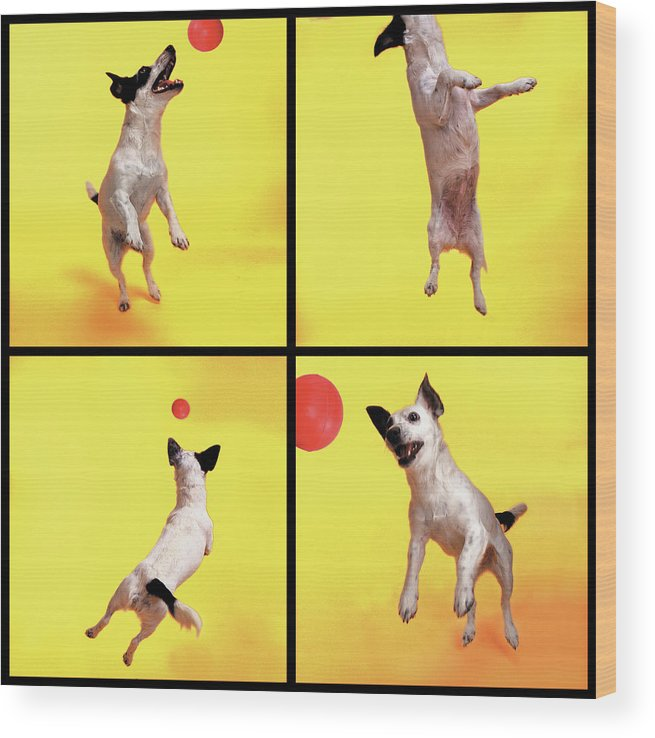 Pets Wood Print featuring the photograph Jack Russell Jumping For Ball by Photodisc