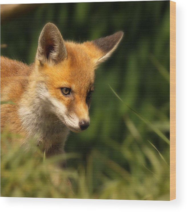 Alertness Wood Print featuring the photograph Red Fox Cub In The Grass by Chris Jolley