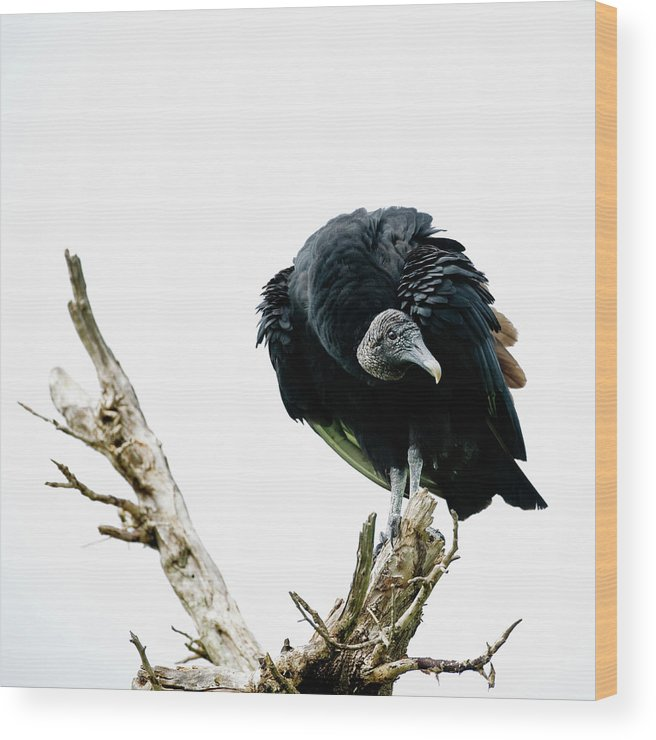Animal Themes Wood Print featuring the photograph Vulture Perched On Tree by Roine Magnusson