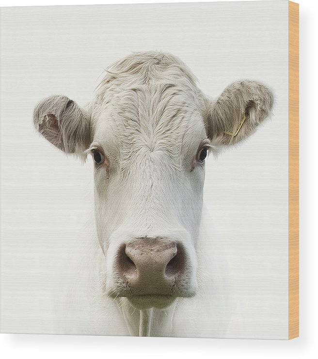 White Background Wood Print featuring the photograph White Cow by Jojo1 Photography