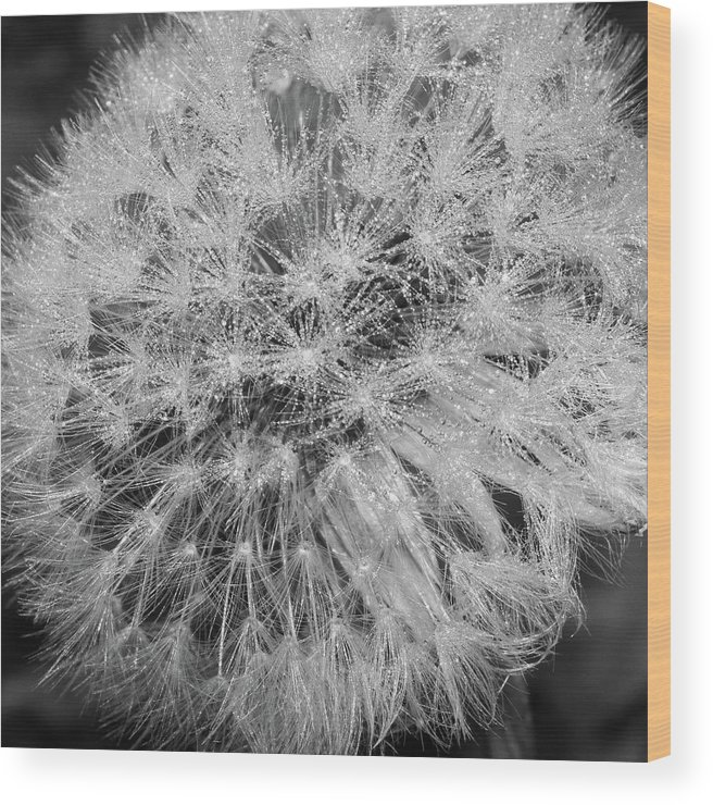 Bw Wood Print featuring the photograph Dewy Dandelion by Bear R Humphreys