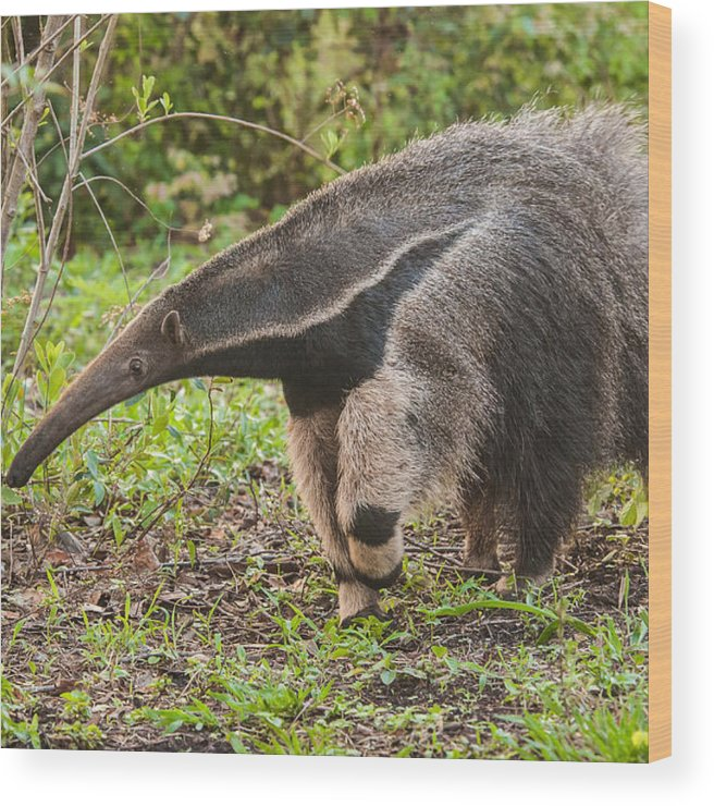 Grass Wood Print featuring the photograph Tamanduá Bandeira - Giant Anteater by Www.froehlich-photo.com