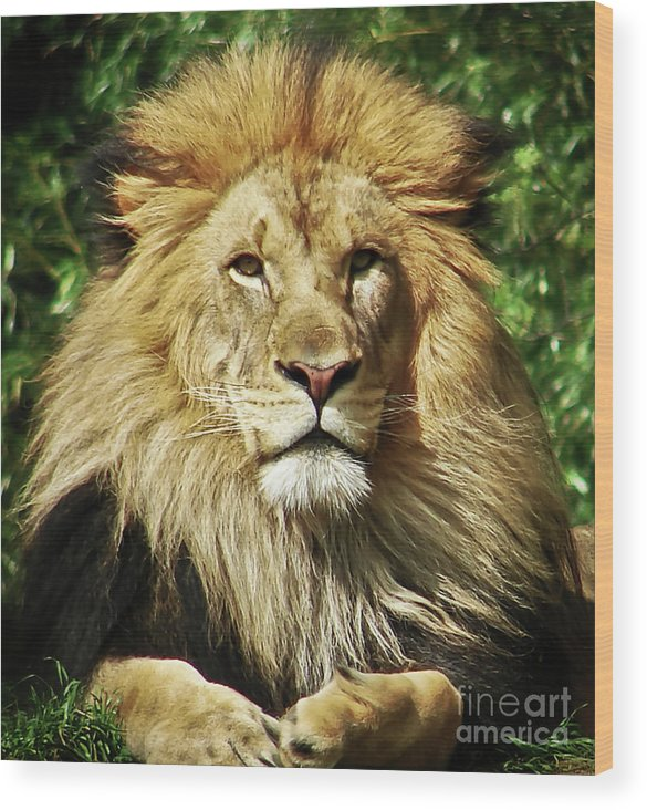 Lion Wood Print featuring the photograph Lion King by Cathy Mounts