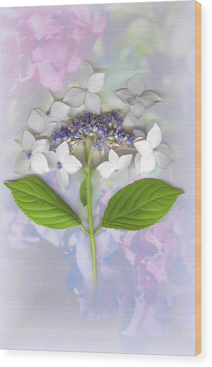 Lacecap Hydrangea Wood Print featuring the mixed media Lacecap Hydrangea by Sandi F Hutchins
