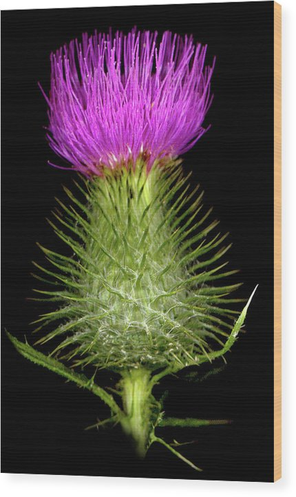 Wood Print featuring the photograph Thistle by Sandi F Hutchins