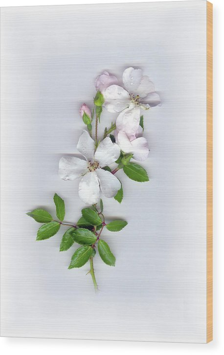 Moon River Rose Wood Print featuring the mixed media Moon River Rose by Sandi F Hutchins