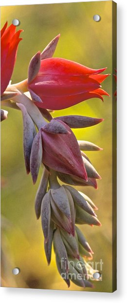 Bursting Red Acrylic Print
