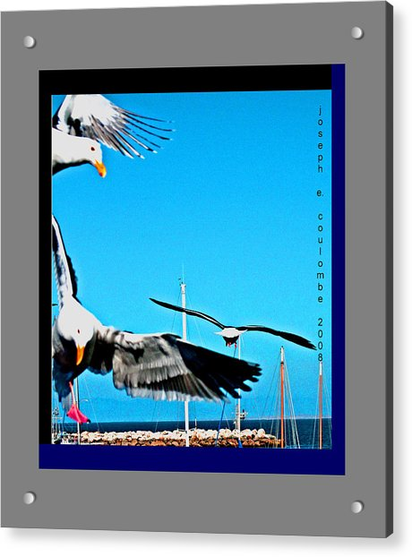 West Coast Sea Birds Acrylic Print