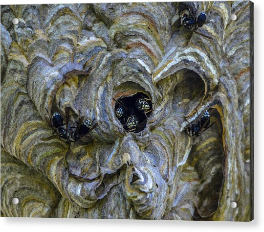 Bald-faced Hornet Nest Acrylic Print