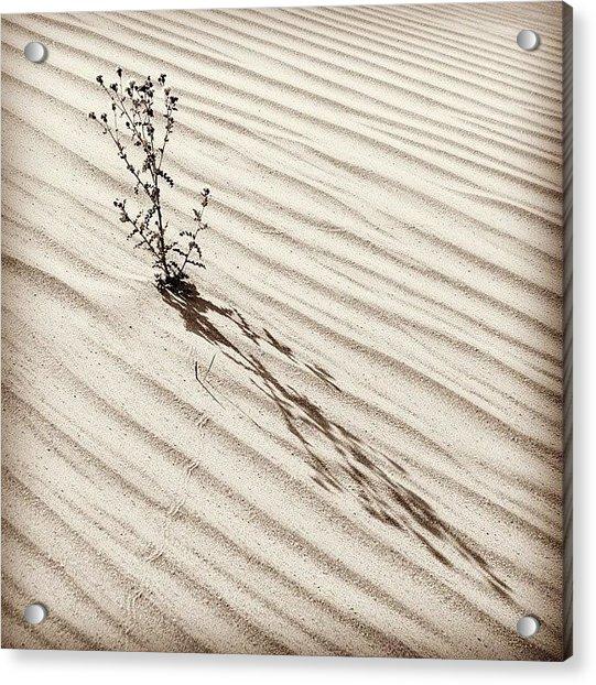 Cactus In Desert Acrylic Print